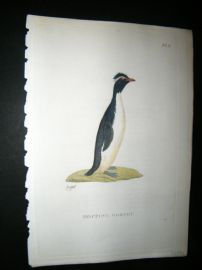 Shaw C1800's Antique Hand Col Bird Print. Hopping Gorfou Penguin